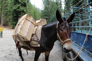 Mule3